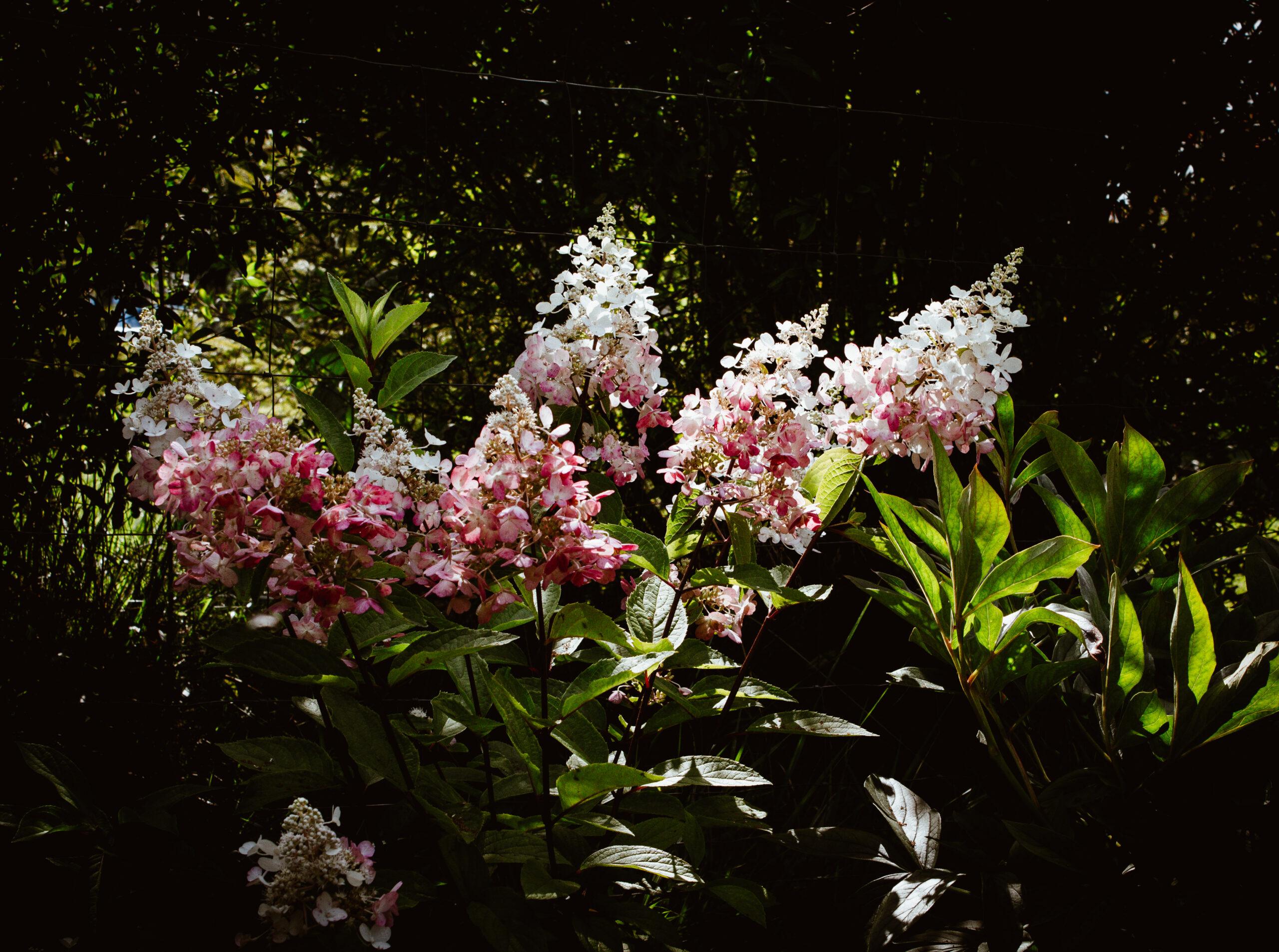 Sierpień w moim ogrodzie i hortensjowe love.